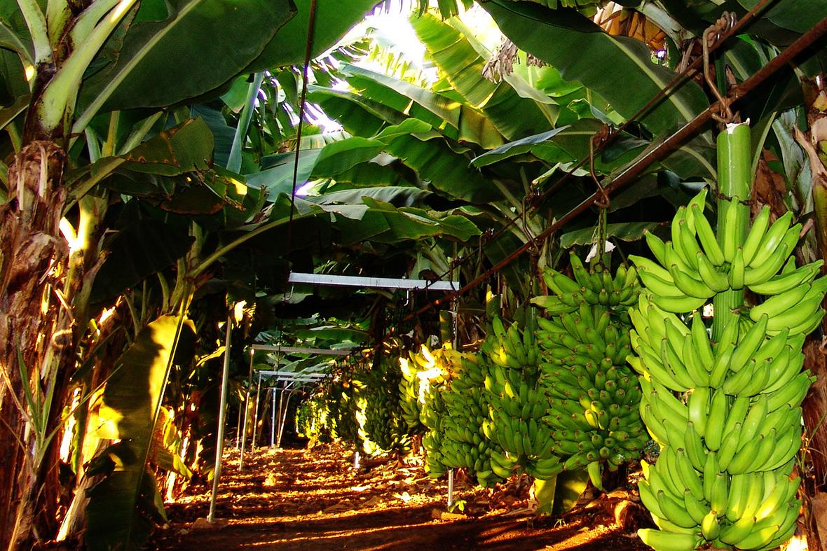 Pesquisas transformam Norte de Minas em um dos maiores polos produtores de banana