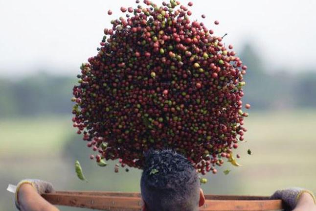 Conab: café terá safra recorde em 2020