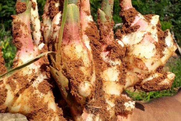 Gengibre para exportação é nova aposta de agricultores familiares do Leste de Minas