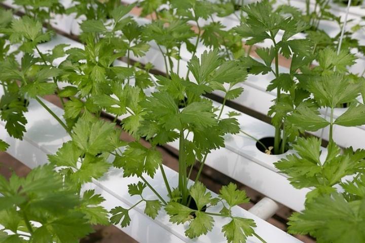 Cultivo hidropônico de hortaliças é oportunidade para produtores
