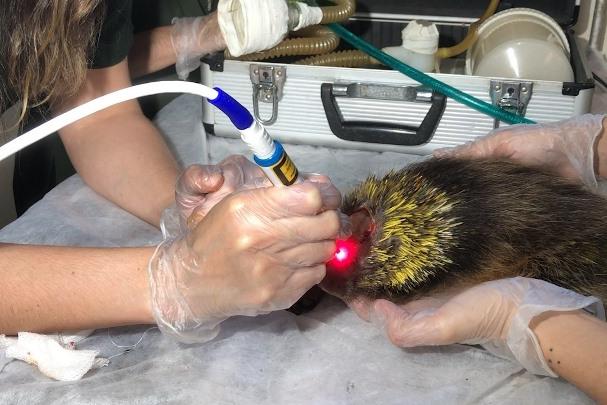 Laser acelera recuperação de animais silvestres