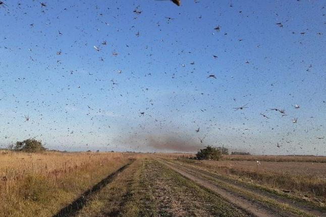 Governo traça diretrizes para eventual combate a gafanhotos no país